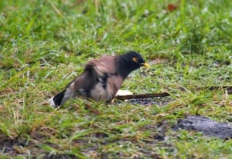 Отряхивающаяся под дождем майна обыкновенная (Common mynah bird).