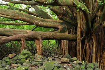 Старое дерево баньян, пустившее корни прямо из ветвей. Тропа Pipiwai.