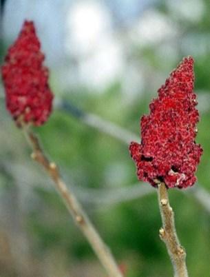 Очень распространенное в Вермонте растение.