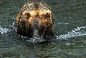 """Медведь - """"всплывающая подводная лодка""""."""