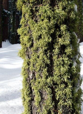 "Моховая мозаика. Тропа ""Big trees trail""."