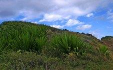 Кусты гигантской агавы (Furcraea foetida) по сторонам дороги.