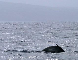 Спина китенка в сверкающих водах океана.