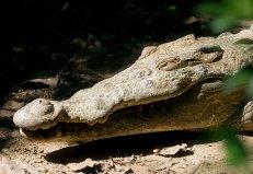 Улыбка крокодила. Belize zoo.
