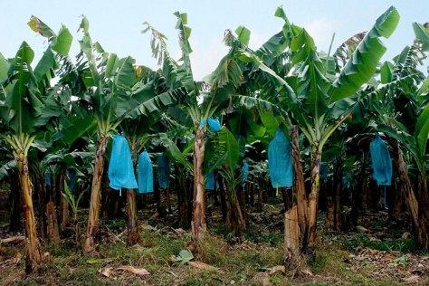 Плантация бананов вдоль Южного шоссе.