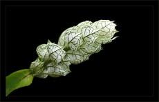 Распространенное в долине Pololu растение.