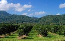 Плантация апельсиновых деревьев вдоль шоссе Колибри. Южный Белиз.