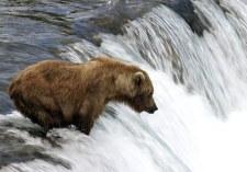 """Медведица по прозвищу """"Мать"""" на вершине водопада."""