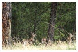 Семейство чернохвостых оленей (Mule deer) в лесу.