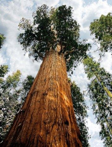 Лесные гиганты.