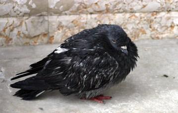 Нахохлившийся и мокрый голубь на площади San Marco.