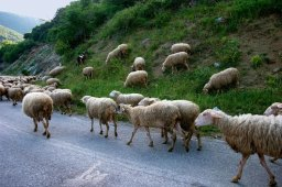 Овцы расходятся перед проезжающей машиной. Vikos-Aoos National Park.