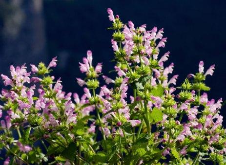 Розовые кусты Пикульника (Galeopsis tetrahit).