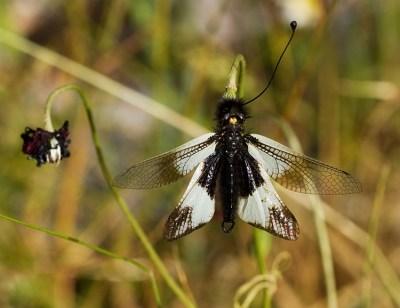 Бабочка-одноус в зарослях на краю каньона. Vikos-Aoos National Park.