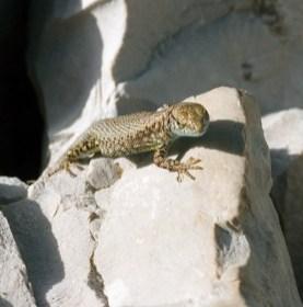 Греческая каменная ящерка (Lacerta graeca).