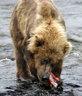 Один из трех медвежат с куском лосося.