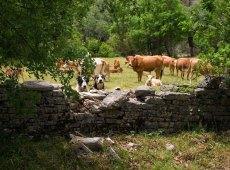 Собаки-пастухи, стерегущие стадо. Третий пёс спрятался.