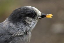 Сорокопут (Northern shrike), укравший чипс.