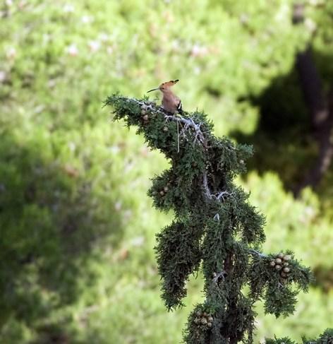 Удод приземлился на дерево у подножия Акрополя.