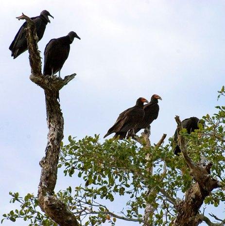 Черные грифы и грифы-индюшки на одном дереве. Заповедник Crooked Tree.