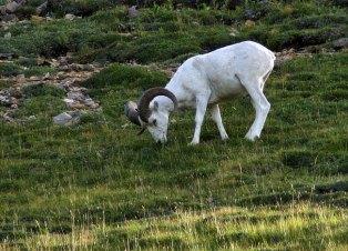 Белоснежная овечка Dall sheep в районе перевала Sable pass.
