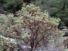 Распространенные в северной части парка карликовые деревья с ярко-бурой корой.
