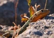 Ящерка Peloponnesian Wall Lizard (Podarcis peloponnesiaca) в руинах Древней Олимпии.