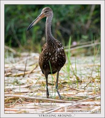 Лимпкин прогуливается вдоль берега по мелководью в поисках еды. Заповедник Crooked Tree.