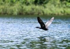 Хищная птица Anhinga (Змеешейка обыкновенная) над ручьем Spanish Creek. Заповедник Crooked Tree.
