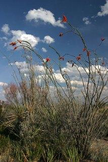 Цветущие окотилло вдоль дороги к Rio Grande village.