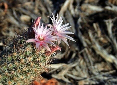 Розовые цветы звездного кактуса.