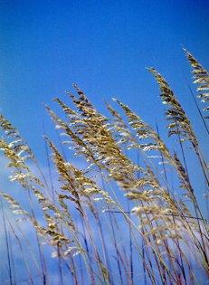 Побережье Мексиканского Залива. Sea oats (морской овес).