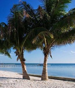Парные кокосовые пальмы.