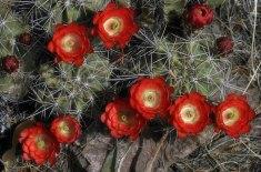 """Высокогорный кактус """"Пурпурная чашка"""" (Claret Cup Cactus)."""