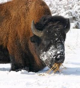 Бизон, выкопавший траву из-под снега.