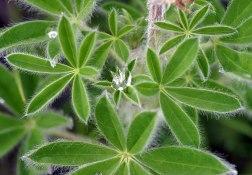 Листья люпина с капелькой росы. Отдаленно напимают коноплю :) Тропа Harding Ice field trail.