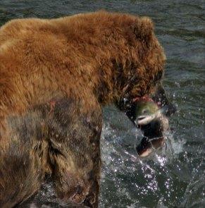 Медведь-подводник с добычей.