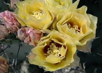 Букет из цветов грушевидного кактуса.