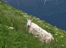 Линяющая снежная коза в зарослях луговых цветов.