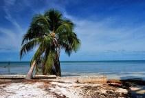 Фотогеничная кокосовая пальма на краю острова. Атолл Turneffe.