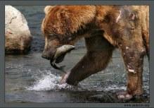 """""""Нелегкая добыча"""". Сильно израненный в драке медведь, но зато с честно завоеванным лососем."""