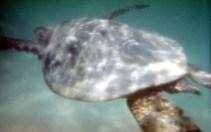 Курс в глубину... Зеленая морская черепаха.
