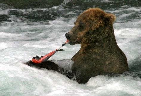 Медведица, обедающая лососем.