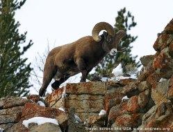 Баран-толсторог (Bighorn sheep) около парковой дороги.