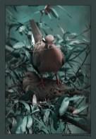 """""""Из жизни горлиц"""" Семейка голубей Morning Dove (горлиц) готовится к выведению потомства. Самец постоянно летал за прутиками, приносил самке, она лепила гнездо и утаптывала. Места в гнезде пока мало, поэтому самец использовал спину самки как посадочную площадку."""