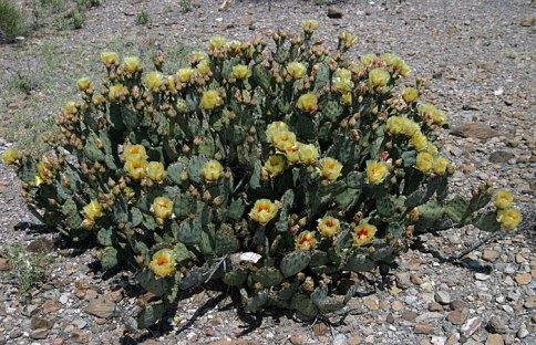 Цветущий куст грушевидного кактуса.