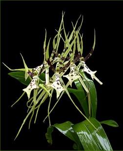 Орхидея-паук.