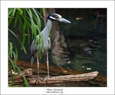 """""""Синекура"""" Ну конечно же это не кура, просто вид у этой цапли был до того несчастный и нескладный, что по-другому и не получилось назвать :) На самом деле – это двухлетний птенец ночной цапли Yellow Crowned Night Heron, высматривающий добычу в воде."""