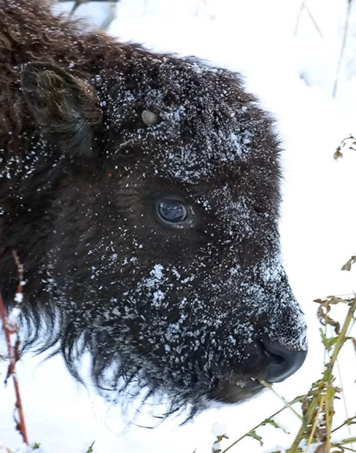 Мордочка бизоньего детеныша, присыпанная снегом.