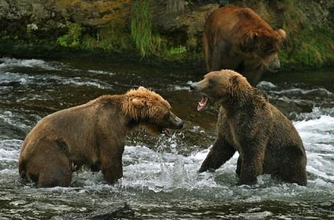 Молодые медведи, задирающие друг друга.